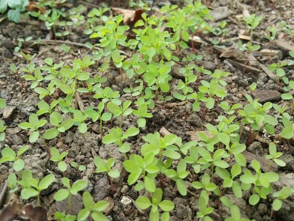 Spurge seedlings