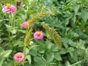 More Grass Seed heads