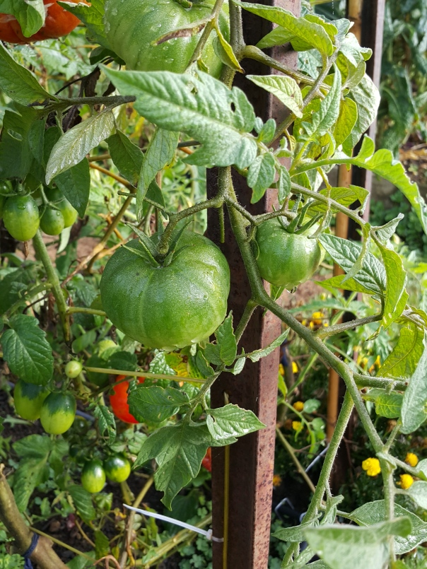 The tomatoes show very little sign of giving up