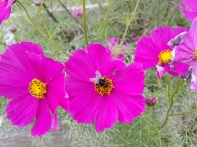 The bees really love my cosmos