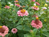 I love the subtle pastel shades of these Zinnia