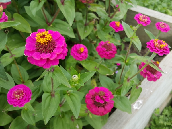 Zinnias have to be my favourite flowers