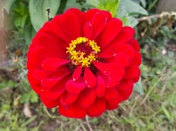I love the deep red of this zinnia