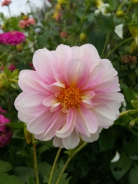 This dahlia is so sweet