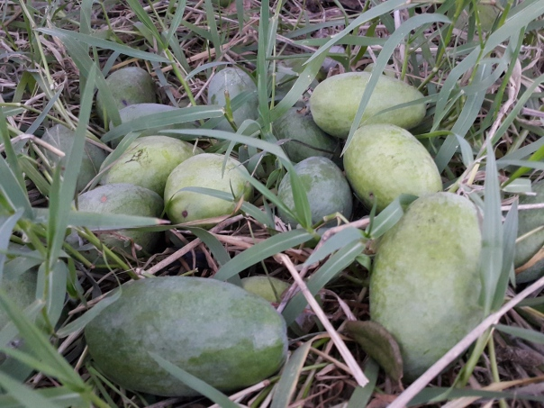 So many feijoas