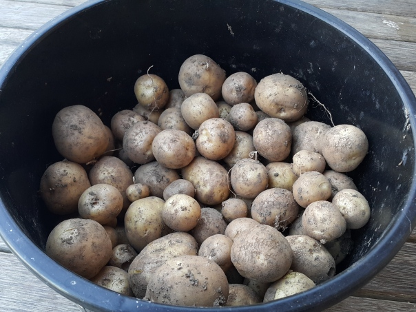 Not a bad haul of spuds
