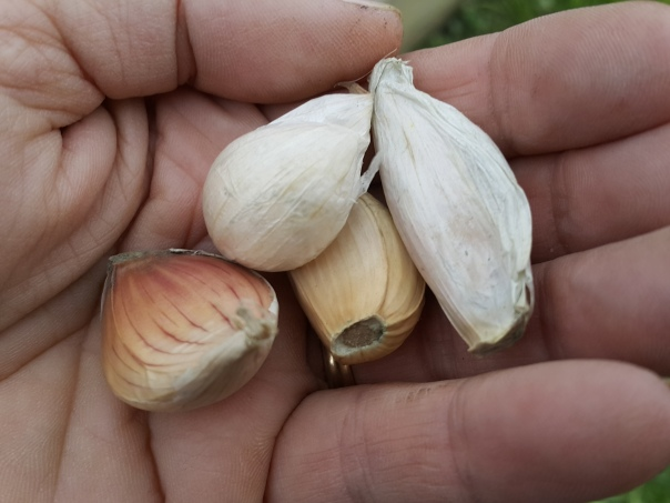 The hope of a season lies in these small garlic cloves