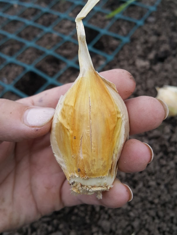 Always plant your garlic the right way up
