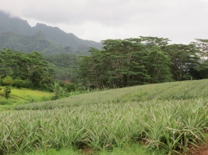 Pineapple fields on the slopes of a tropical crater