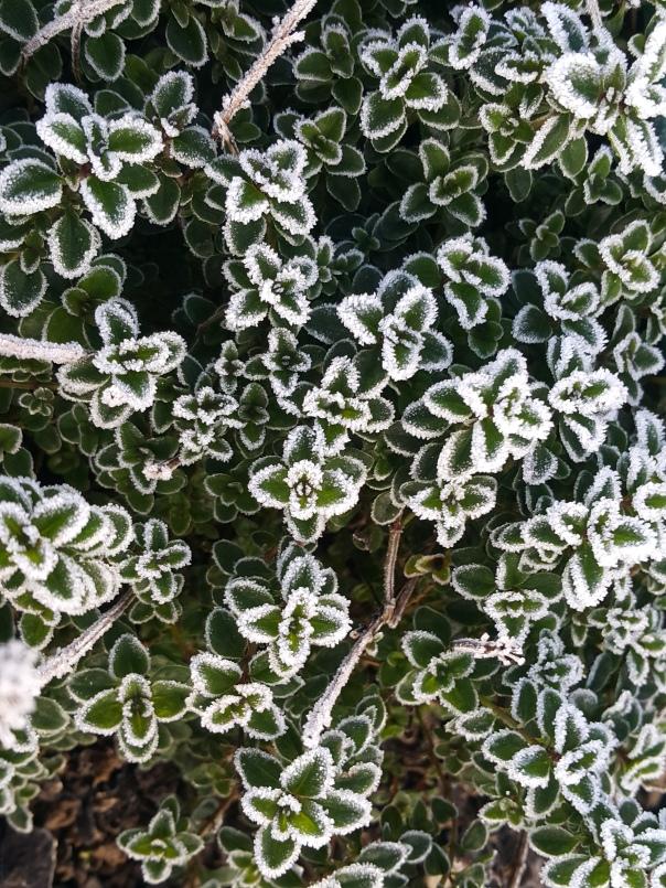 Frozen in Thyme