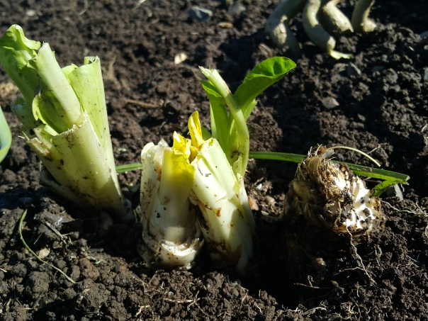 Dig out the chicory roots