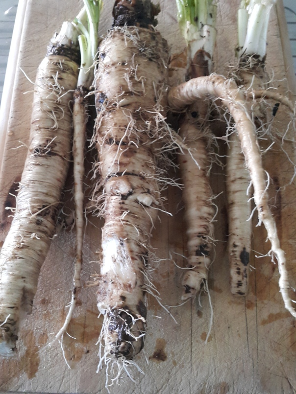 Washed chicory roots