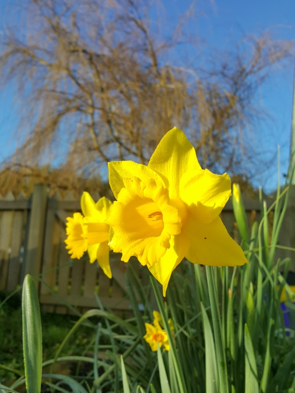 Daffodils on a sunny day