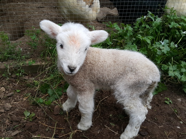 Tiny lambs are the cutest