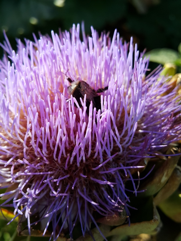 Bee in the artichoke
