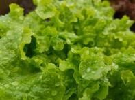Wet Lettuce