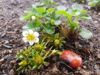 Not to long to wait for strawberries