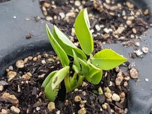 Peanut seedling