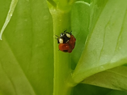 Lady bird sheltering from the rain