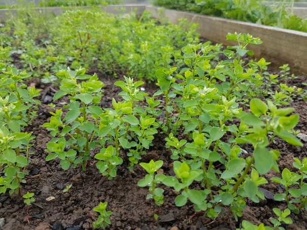 Weeds in soggy soil
