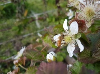 Bee in the boysenberry