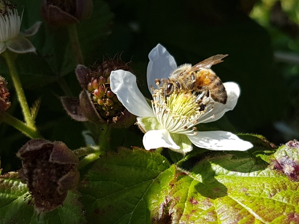 Bee and boysenberry