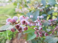 The grey of unripe blueberries