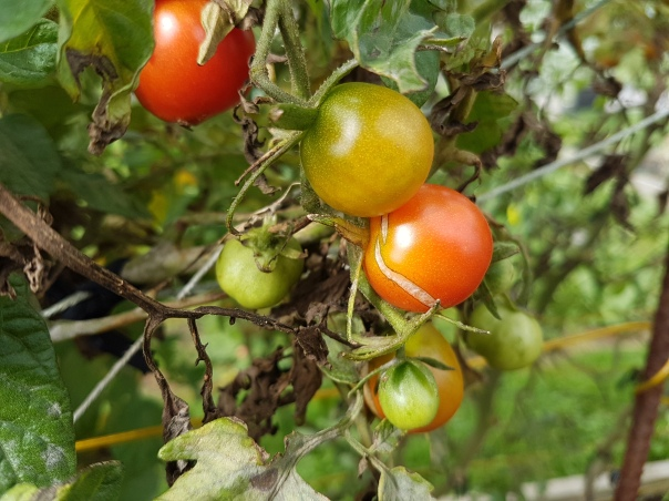 Bedraggled tomatoes