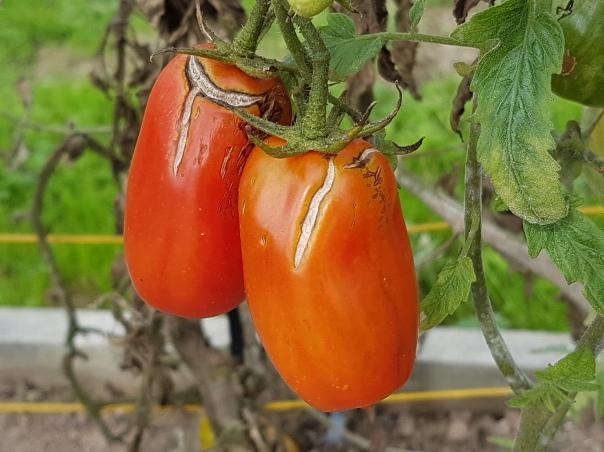 Weather beaten tomatoes