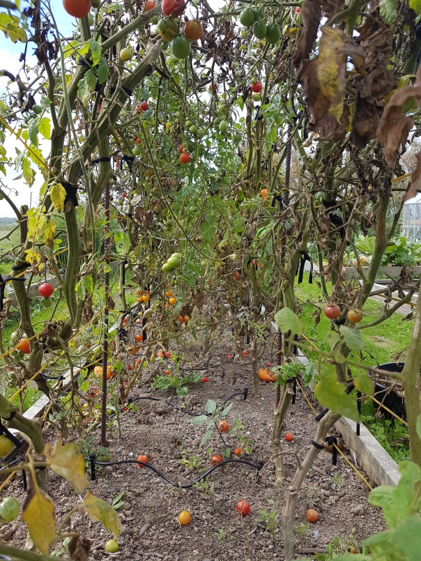 End of season tomatoes