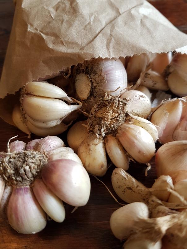 Early Garlic