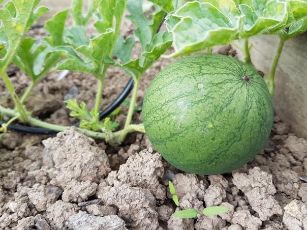 Last chance watermelon