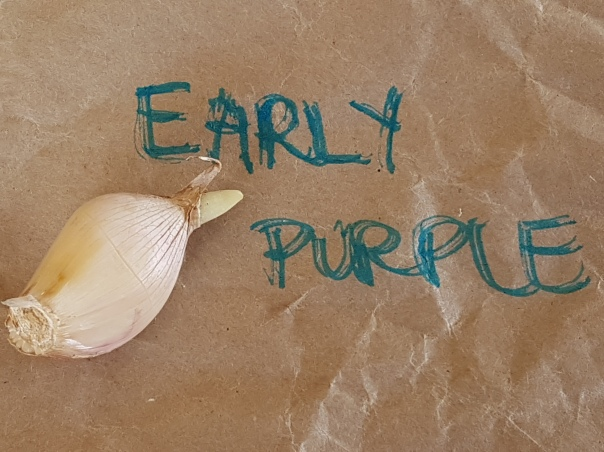 Early Purple Garlic