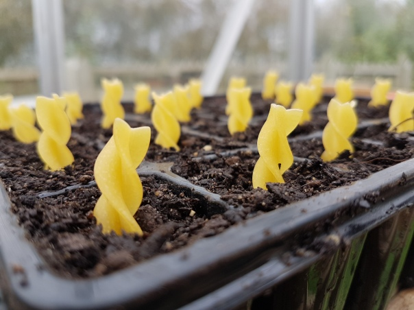 Pasta seedlings