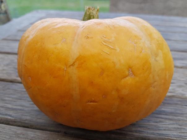 my 1kg giant pumpkin