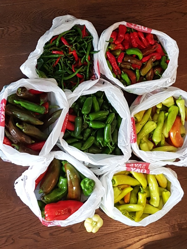 An abundant pepper harvest