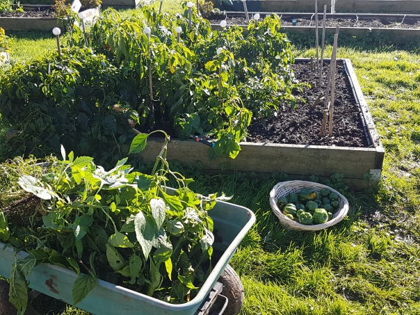 Clearing the pepper bed