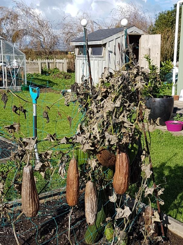Bedraggled Luffa plant