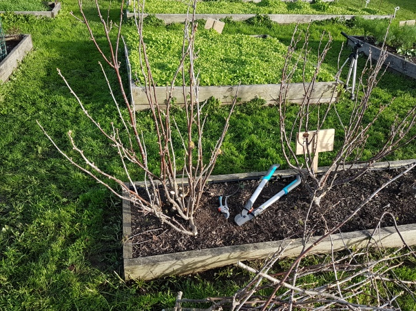 Gardena loppers to prune blackcurrant