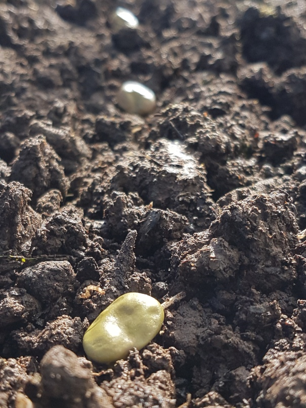 Broad bean seeds