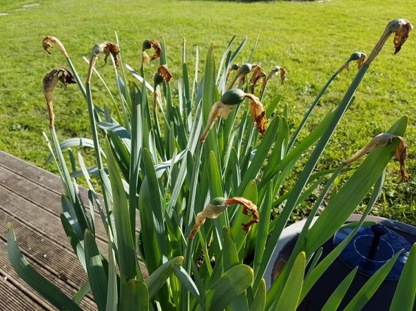 Finished Daffodils