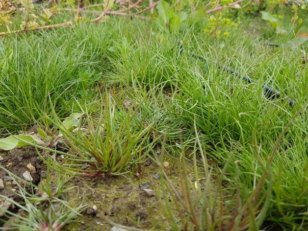 weedy grass