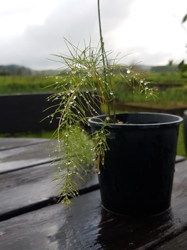 Asparagus seedling