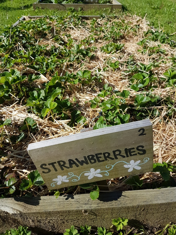 Mulched Strawberries