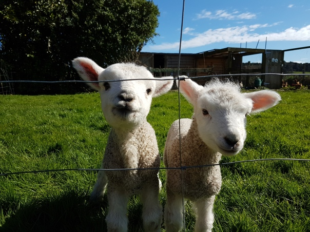 Aug: Spring means lambs