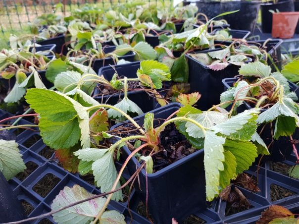 Wilted strawberry plants