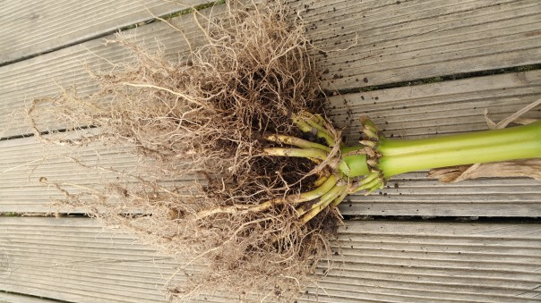 Sweetcorn roots
