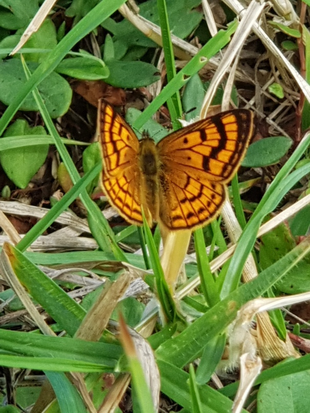 A Common Copper Butterfly