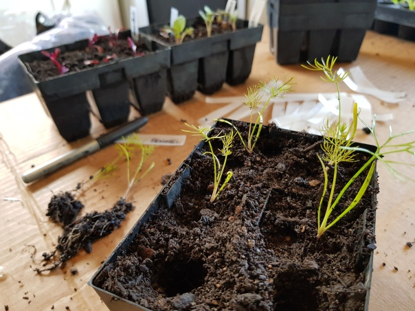 Fennel seedling