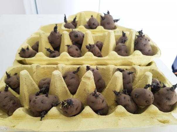 maori potato urenika